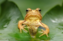 Common Frog (Rana Temporaria),...