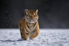 Siberian Tiger (Panthera Tigris Altaica), Captive, Running In The Snow, Jumping, Moravia, Czech Republic, Europe