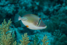 Picasso Triggerfish, Rhinecanthus Assasi Is A Species Of Fish In The Family Balistidae