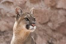 Cougar (Puma Concolor) Portrai...