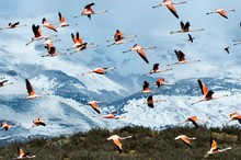 Flock Of Chilean Flamingos Fly...