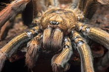 Young Tarantula (Pamphobeteus ...