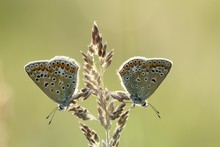 Two Common Blue Butterflies (P...