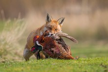 Red Fox (Vulpes Vulpes) Carryi...