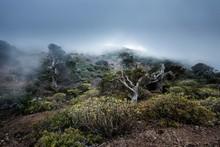 Juniper Trees In Dense Fog, Juniper Forest El Sabinar, Also El Sabinal, El Hierro, Canary Islands, Spain, Europe