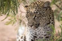 Leopard (Panthera Pardus) Look...