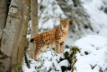 Lynx Or Northern Lynx (Lynx Lynx), Standing On Fresh Snow-covered Rock, Animal Enclosure, Captive, Bavarian Forest National Park, Bavaria, Germany, Europe