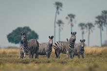 Zebra Group In Wild Forest