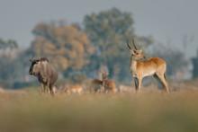 Antelope And Yak