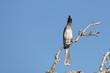 canvas print picture - Grautoko / Grey hornbill / Tockus nasutus