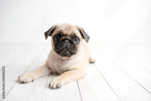 Obraz An adorable pug puppy on white wood background - fototapety do salonu