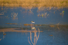 Black-necked Stilt In The Lake