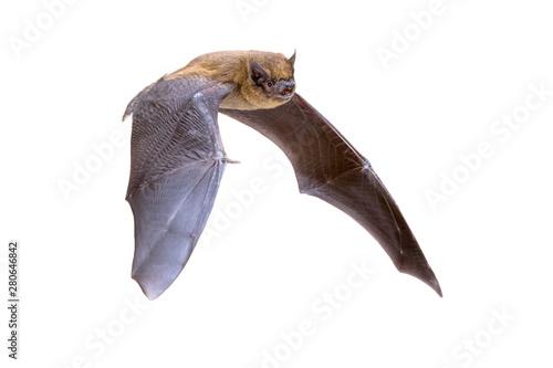 Cuadros en Lienzo Flying Pipistrelle bat isolated on white background