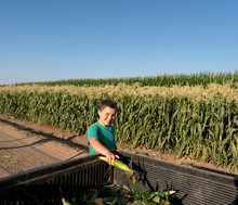 Sweet Corn Harvest And Roadside Sales