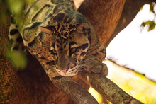 Male Adult Clouded Leopard Neofelis Nebulosa Is Listed As Vulnerable