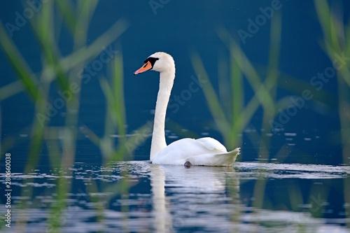 Höckerschwan (Cygnus olor) - Mute swan