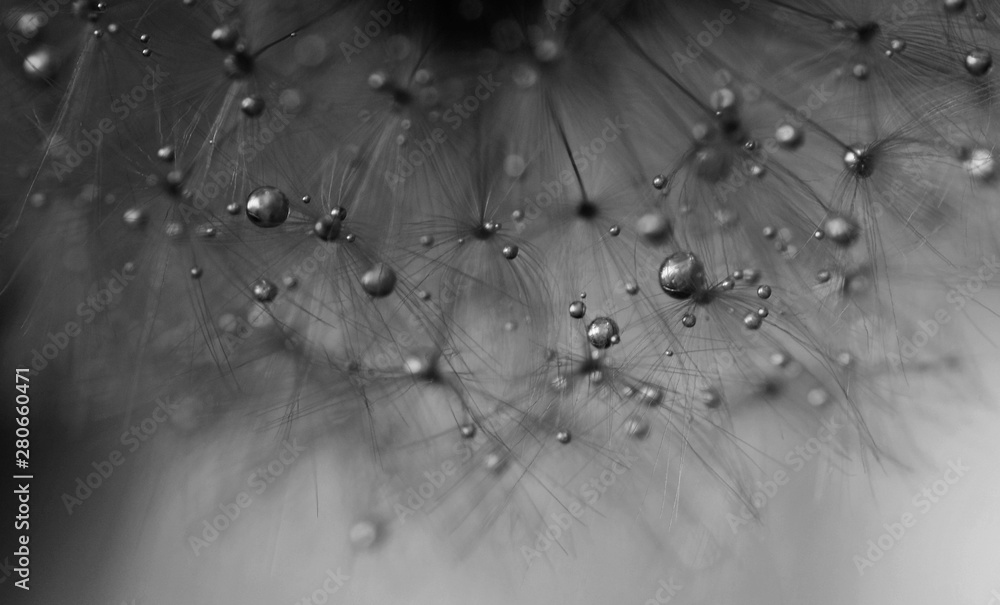 Fototapety, obrazy: Macro close-up view of dandelion seeds with water drops. Black and white. Abstract background.
