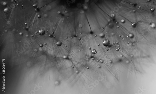 Macro close-up view of dandelion seeds with water drops. Black and white. Abstract background. - 280660471