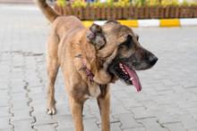 Brown Anatolian Shepherd Dog With Spiked Iron Collar On The Street. (Spiked Iron Collar Protects The Necks Of Dog Against Wolf). Sivas Kangal Coban Kopek, Kopegi, Turkey