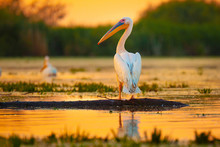 Pelican At Sunset In Danube De...
