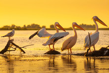 Pelicans Resting At Sunset In ...