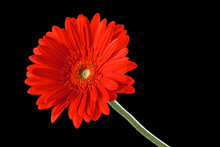 A Single Red Gerber Daisy On A Black Background