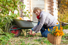 Beautiful Woman Harvesting In The Garden In Autumn. Gardening Activities. A Middle-aged Woman To Clear The Old Diseased Branches. Behind It Is A Log Cabin. The Sun Shines.