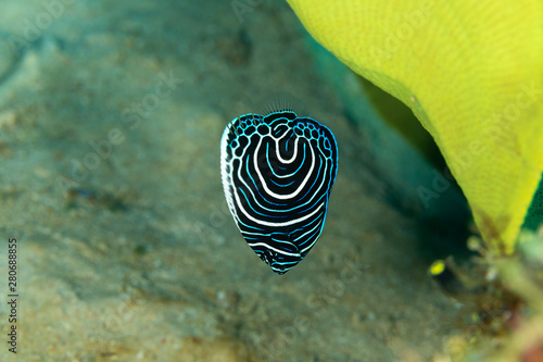 Juvenile emperor angelfish, Pomacanthus imperator, is a species of marine angelf Canvas Print