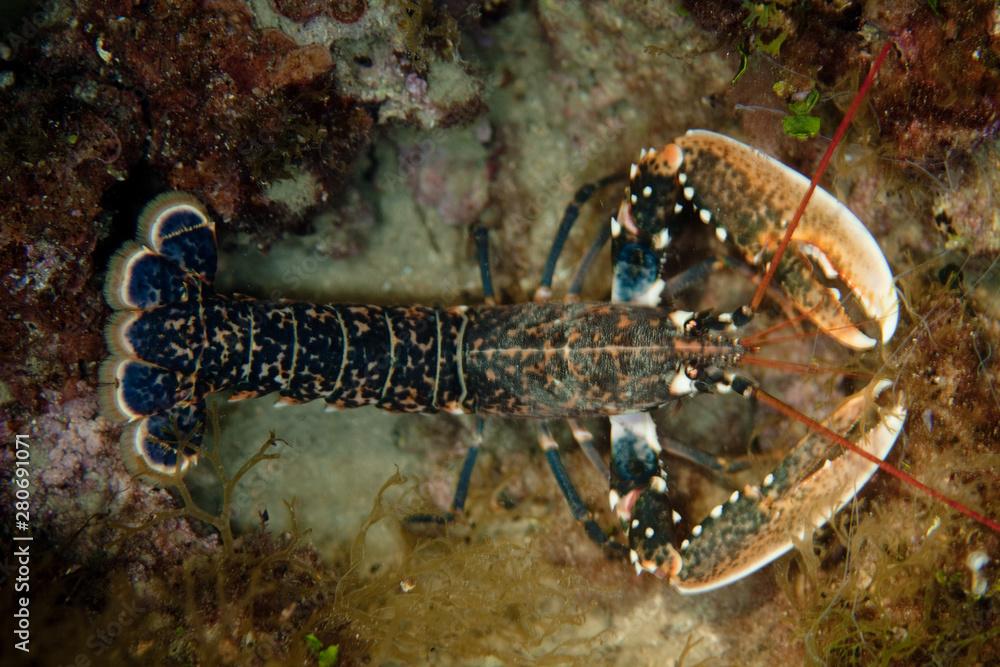 Fototapeta Homarus Lobster
