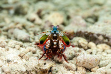 Peacock Mantis Shrimp, Harlequin Mantis Shrimp, Painted Mantis Shrimp, Or Clown Mantis Shrimp, Odontodactylus Scyllarus