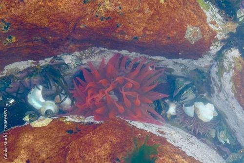 Valokuvatapetti Red anemone 2, Cape of Good Hope
