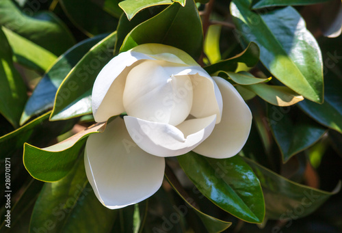 Photo sur Toile Magnolia Beautiful white flower on a tree