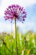 Close Up Purple Allium In Gree...