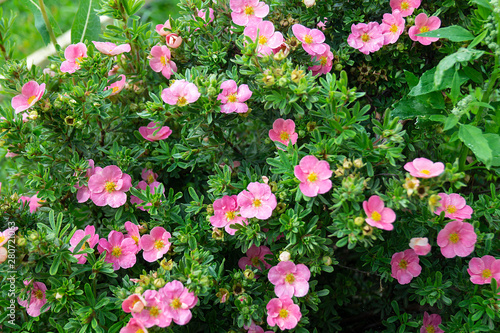 Fotografija  Potentilla fruticosa in year garden on background green sheet