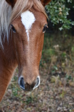 Closeup Of Corolla Wild Horse With White Blaze