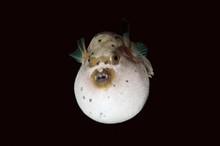 Blackspotted Puffer Or Dog-faced Puffer (Arothron Nigropunctatus) Boholsee, Cebu, Philippines, Asia