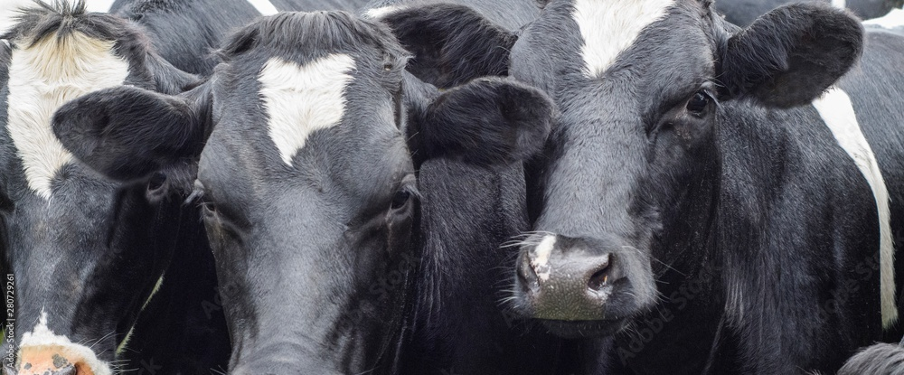 Fototapeta A close up photo of two black and white cows