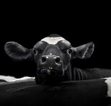 A Close Up Photo Of A Cow In Front Of Black Background