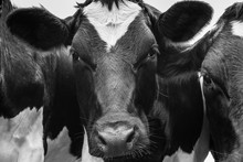 A Close Up Photo Of Two Black And White Cows