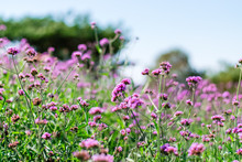Violet Verbena Flowers