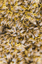 Close Up Of Bees And Honeycomb