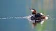 rufender Haubentaucher (Podiceps cristatus) am Prespa-See, Griechenland - Great crested grebe
