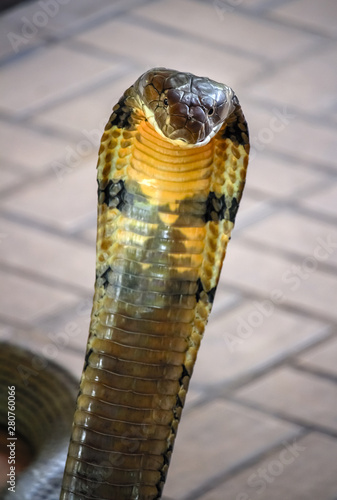 фотография close up of king cobra : the world's longest and deadly venomous snake