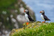 Atlantic Puffins (Fratercula Arctica) On Mykines, Faroe Islands. Denmark. Europe