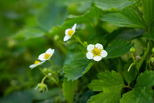 Strawberry Leaves And Blooming Flowers