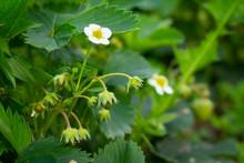 Closeup Of Strawberry Flowers Growing In Garden