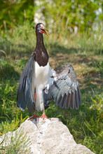 Closeup Of White-bellied Stork...