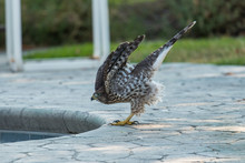 Coopers Hawk Wings Up