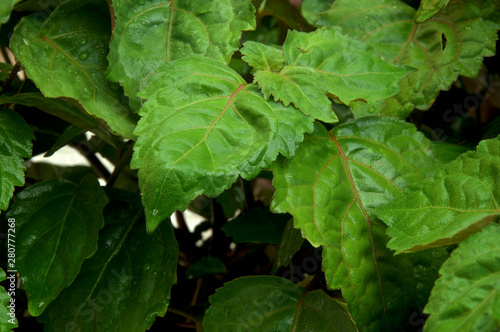 Fotografía  Close up of red and green Pogostemon cablin patchouli plant eaves wet from rain or dew, medicinal plant used in aromatherapy