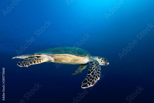 Fototapeta The hawksbill sea turtle Eretmochelys imbricata obraz na płótnie